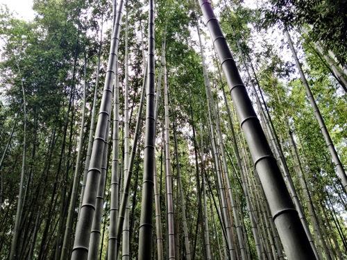 [京都]嵐山の竹林にいってきたよ