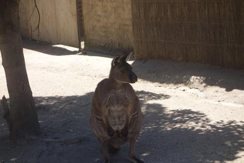 Melbourne Zoo(メルボルン動物園)に行って、コアラやカンガルーに会いに| #オーストラリア旅行記